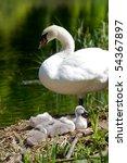 Swan Cygnets On Their Nest Wit...