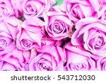 Violet Blooming Fresh Roses...