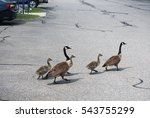 A Group Of Goose Walking Acros...