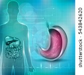 stomach cross section anatomy... | Shutterstock . vector #543842620