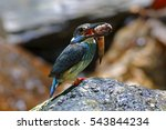 Small photo of Blue-banded Kingfisher Alcedo euryzona Male Birds catching fish