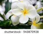 Tiare Flowers Tahitian Gardeni...