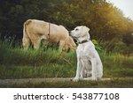 Young Labrador Retriever Dog...