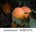 Apricots Ripening On Tree