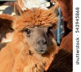 Brown Alpaca With A Gleam In...
