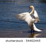 Dominant Swan