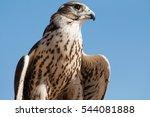 Male Saker Falcon  Falco...