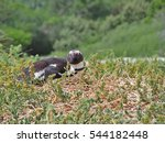 African Penguin Lying Down On...