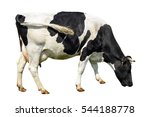 Stock photo funny cute cow isolated on white talking black and white cow funny curious cow farm animals cow 544188778