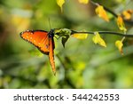 Queen Butterfly On A Branch Of...