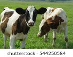 Calves On A Summer Pasture