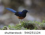 male of white rumped shama ... | Shutterstock . vector #544251124