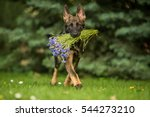 Stock photo working german shepherd brings flowers 544273210