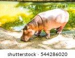 Young Hippopotamus  Thailand.