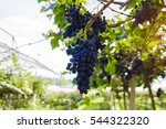bunches of ripe grapes before... | Shutterstock . vector #544322320