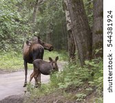 Small photo of Alaskan Moose Family