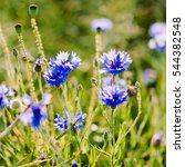 Cornflower   Wildflower Growin...