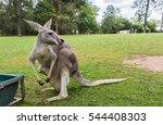 mother kangaroo carrying her... | Shutterstock . vector #544408303
