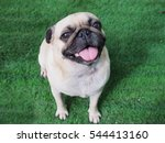 Stock photo close up pug dog sitting on the grass carpet 544413160