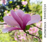 """Small photo of Magnolia Soulangeana """"Alexandrina"""""""
