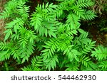 indonesian tropical cosmos plant | Shutterstock . vector #544462930