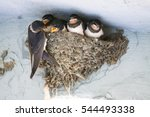 Stock photo birds and animals in wildlife the swallow feeds the baby birds nesting 544493338