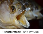 Red Bellied Piranhas On Sale A...