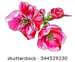 Pink Red Quince Flower Blossom...