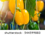 Yellow Bell Pepper Plant In Th...