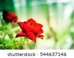aromatic red roses bouquet ... | Shutterstock . vector #544637146