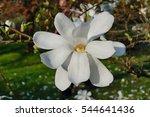 White Magnolia   Flowering Tree