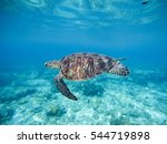 Wild Green Turtle Swimming...
