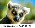 Close Up Of A Ring Tailed Lemu...