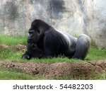 Gorilla At Rest