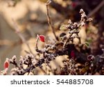 Cotoneaster Shrub With Tiny Re...