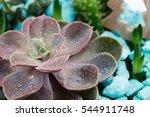 Echeveria Closeup