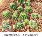 Many Echinopsis Calochlora...