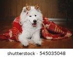 Beautiful Samoyed Dog Posing A...
