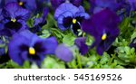 Colorful Blue Violet Pansies