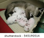 Stock photo siamese cat kitten 545190514