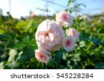 Stock photo english rose in the garden with sunshine 545228284