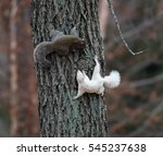 A White Squirrel And A Typical...
