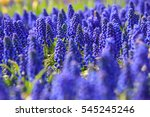 Grape Hyacinth Flower At Tulip...