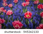 Tulip   Grape Hyacinth Blue