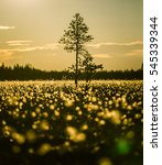 Small photo of A beautiful bog landscape with cottongrass in sunset