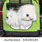 Bologneses Dogs In Bag. The...