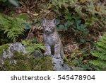 eurasian lynx   Shutterstock . vector #545478904