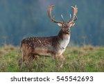 Fallow Deer  Dama Dama  Czech...