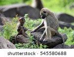 cute baby baboon in african... | Shutterstock . vector #545580688