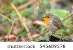 beautiful robin sitting on a... | Shutterstock . vector #545609278